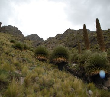 Bosque de Puya Raimondi 04