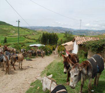 Estacionamiento de burros esperando a los compradores en la feria de Pomacancha