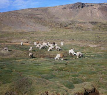 Alpacas en las punas