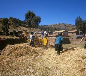 Campesinos trillando cebada en la comunidad campesina Chanquil, distrito de Rosario