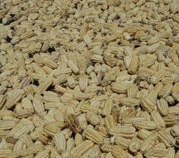 Maiz en la comunidad de Unión Ambo-Mayo 2018