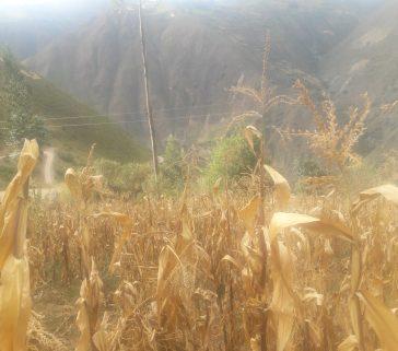 Parcelas de Maiz en la comunidad de Huari-Mayo 2018