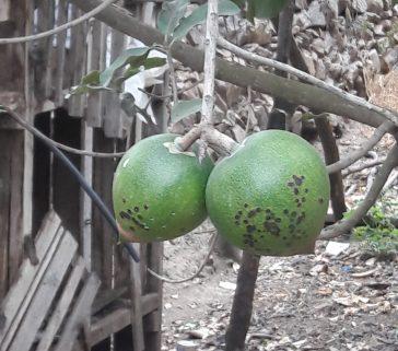 Plantones de lúcuma-Mayo 2018