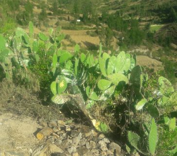 Tunales con cochinilla en la comunidad de Huari-Mayo 2018