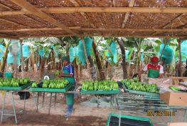 Sullana-Saman-Procesamiento de Banano convencional